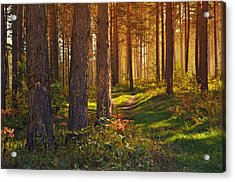 Maine Pine Forest Bathed In Light Acrylic Print