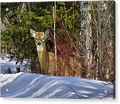 Maine Wildlife 2 Acrylic Print