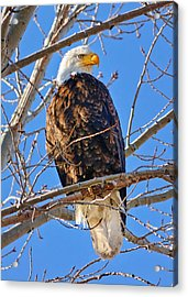 Majestic Bald Eagle Acrylic Print by Greg Norrell
