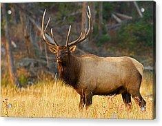 Majestic Bull Elk Acrylic Print