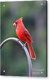 Majestic Cardinal Acrylic Print by Carol Groenen