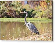 Majestic Great Blue Heron In Autumn Acrylic Print
