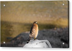 Majestic Hawk 2 Acrylic Print by Shelby  Young