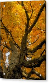Acrylic Print featuring the photograph Majestic Maple by Gary Hall