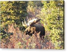 Majestic Moose Acrylic Print