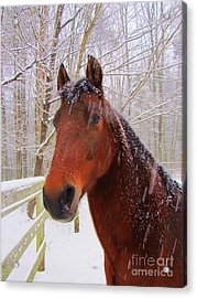 Majestic Morgan Horse Acrylic Print