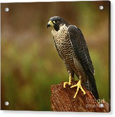 Majestic Peregrine Falcon In The Rain Acrylic Print by Inspired Nature Photography Fine Art Photography