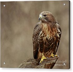 Majestic Redtailed Hawk Acrylic Print by Inspired Nature Photography Fine Art Photography