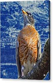 Majestic Robin Blues Acrylic Print by Bill Tiepelman