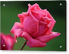 Majestic Rose Acrylic Print by Michael Williams