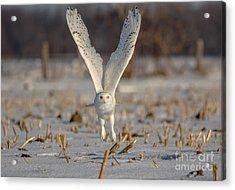 Majestic Snowy Acrylic Print