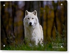 Acrylic Print featuring the photograph Majesty by Wolves Only