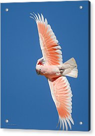 Major Mitchell's Cockatoo In Flight Acrylic Print