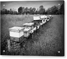 Making Honey II Bw Acrylic Print