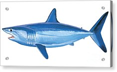 Mako Shark Acrylic Print by Carey Chen