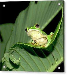 Malabar Gliding Frog Acrylic Print by K Jayaram