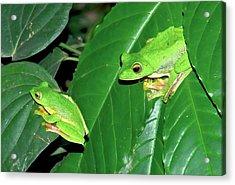 Malabar Gliding Frogs Acrylic Print by K Jayaram