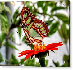 Malachite Butterfly On A Mexican Coneflower Acrylic Print by Larry Trupp