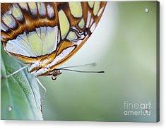 Malachite Butterfly Acrylic Print by Tim Gainey