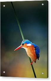 Malachite Kingfisher Acrylic Print