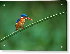Malachite Kingfisher Tanzania Africa Acrylic Print by Panoramic Images