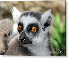 Acrylic Print featuring the photograph Malagasy Lemur by Sergey Lukashin