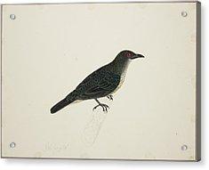 Malay Glossy Starling Acrylic Print