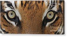 Malayan Tiger Eyes Acrylic Print
