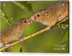 Male And Female Harvest Mice Acrylic Print by Jean-Louis Klein and Marie-Luce Hubert