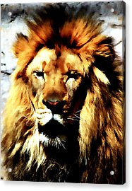 Male African Lion 2 Acrylic Print