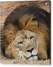 Male African Lion Acrylic Print