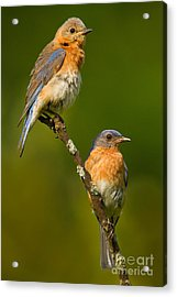 Acrylic Print featuring the photograph Male And Female Bluebirds by Jerry Fornarotto
