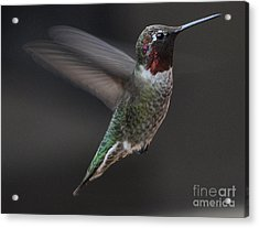 Acrylic Print featuring the photograph Male Anna Hummingbird In Flight by Jay Milo