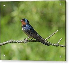 Male Barn Swallow Hirundo Rustica Dsb262 Acrylic Print
