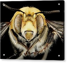 Male Bee Acrylic Print by Us Geological Survey