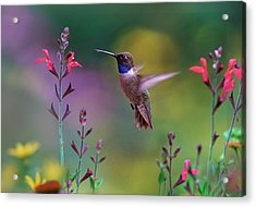 Male Black-chinned Hummingbird Acrylic Print