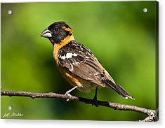 Male Black Headed Grosbeak In A Tree Acrylic Print