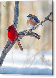 Male Bluebird And Cardinal On Branch Acrylic Print