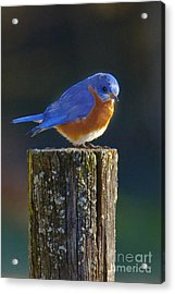 Male Bluebird Acrylic Print