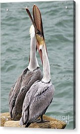 Male Brown Pelican Neck Exercise Acrylic Print by Darleen Stry