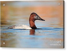 Male Canvasback Acrylic Print by Ruth Jolly
