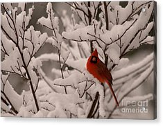 Male Cardinal Amongst Snowy Branches Acrylic Print