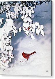 Male Cardinal Cardinalidae Passeri Acrylic Print