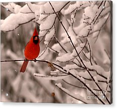 Male Cardinal In Snow Acrylic Print