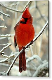 Acrylic Print featuring the photograph Male Cardinal  by Janette Boyd