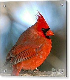 Male Cardinal  Acrylic Print by Kerri Farley