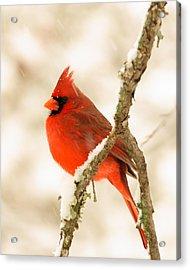 Male Cardinal Acrylic Print by Thomas Pettengill