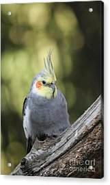 Acrylic Print featuring the photograph Male Cockatiel by Judy Whitton