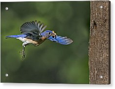 Male Eastern Bluebird Acrylic Print