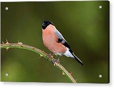 Male Eurasian Bullfinch Acrylic Print by Colin Varndell